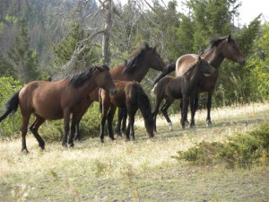 Feral horse herd